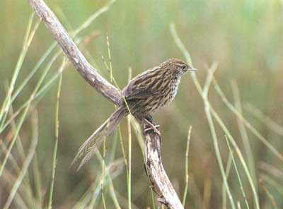 North Island fernbird can habitate due to conservation efforts